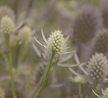 Sea Holly: Eryngium Lavender and white thistle like flowers by Kerry McQuaid