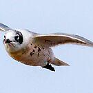 Franklin's Gull In Flight by Robbie Knight