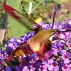 Hummingbird Moth by Anne E Colturi