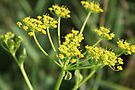 Wild Parsnip by Kathleen Daley