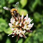 Bees and clover go together by Christina Brunton
