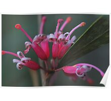 Grevillea Hockingsii Poster