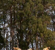 Three cows in a field with gum trees... by Morag Anderson