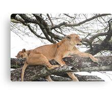Tree Climbing Lions Metal Print