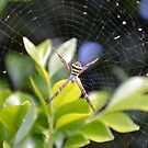 The Garden Spider by TheaShutterbug