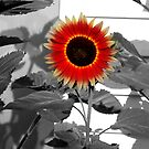 SunFlower by katpix