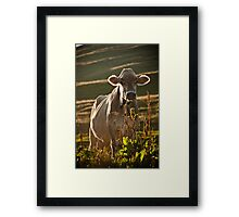 Grazing white cow Framed Print