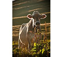 Grazing white cow Photographic Print