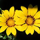 Yellow Gazania by Ticker