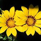 Yellow Gazania by Ticker