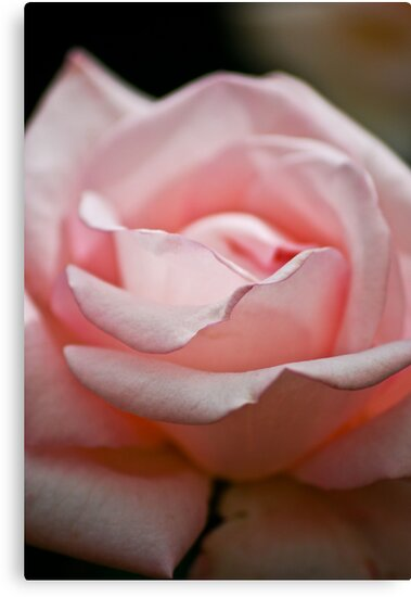 Rose by Ravi Chandra
