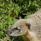 South American Coati by Vac1