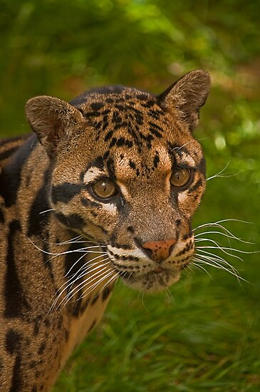 Clouded Leopard v2 by JMChown