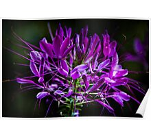 Spider Flower Lavender  Poster