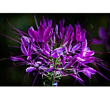 Spider Flower Lavender  Photographic Print