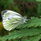 A White Butterfly on a Fern by ienemien