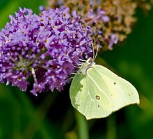 Brimstone Butterfly (Female) by Paul Spear