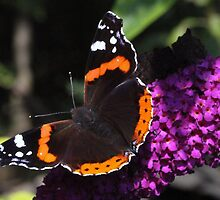 Red Admiral by webbo