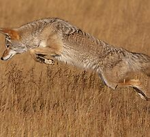 Coyote in Flight by William C. Gladish
