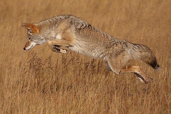 Coyote in Flight by William C. Gladish