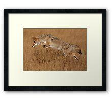 Coyote in Flight Framed Print