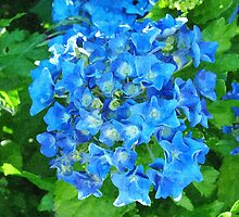 summer blue hydrangea flowers and green leaves by naturematters