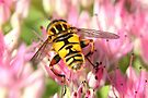 Hoverfly Hues by missmoneypenny