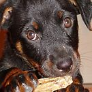 Rottweiler Puppy Chewing a Treat by taiche