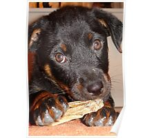 Rottweiler Puppy Chewing a Treat Poster