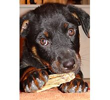 Rottweiler Puppy Chewing a Treat Photographic Print