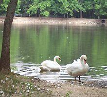 Swans in Bolivar Missouri Park by aweddingtheme
