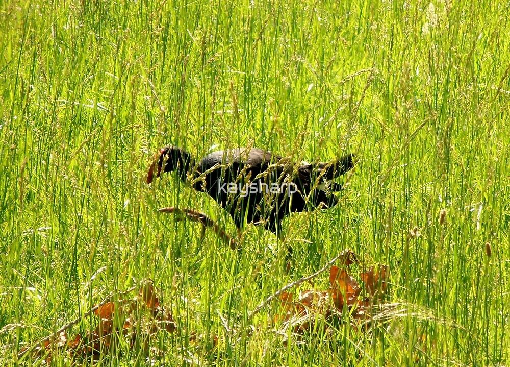 On The Hunt, Purple Swamp Hen, Lake Ginninderra, ACT,  Australia. by kaysharp