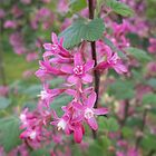 Flowering Black Currant by CliffordV