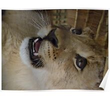 baby lion cub growling Poster