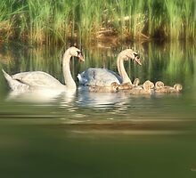 Mute Swan Family by KatMagic Photography