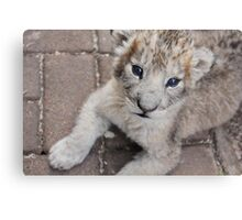 baby lion cub relaxing Canvas Print