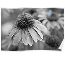 Echinacea in Black and White Poster
