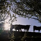 Angus heifers in the South Gippsland hills, 2012 by flokot