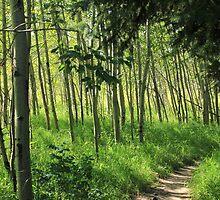 Hiking trail through aspen poplar trees. by Jim Sauchyn