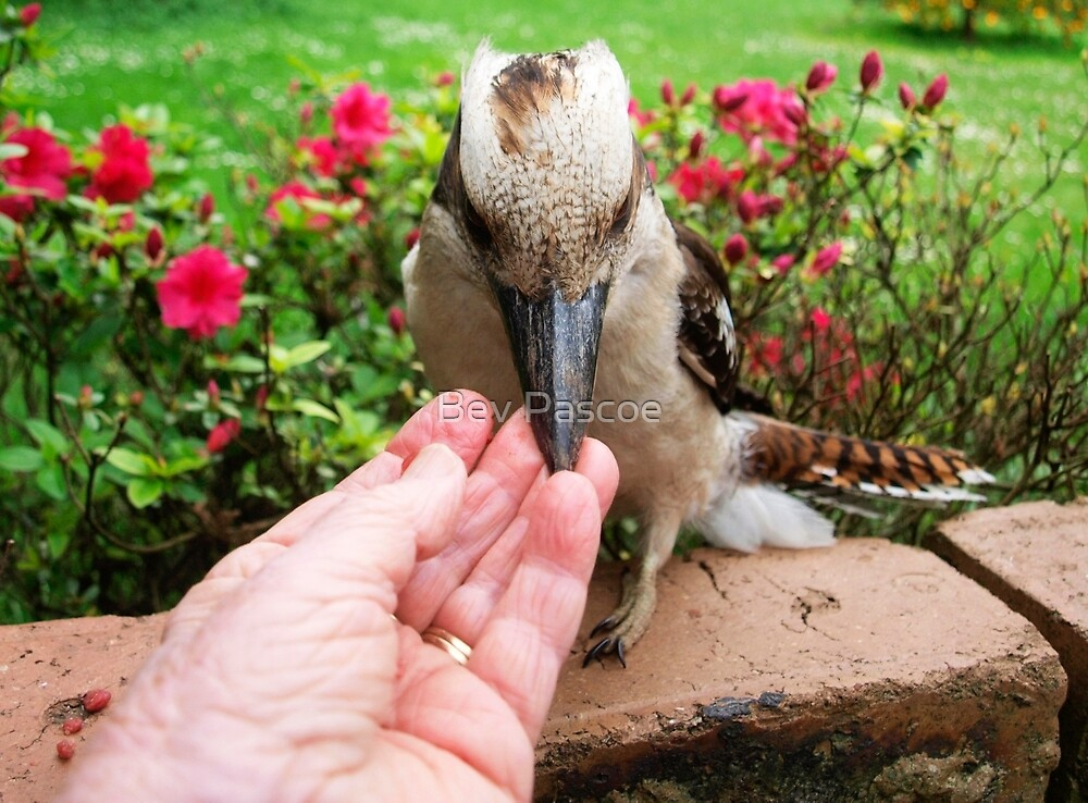 Kookaburra getting a free meal -  by Bev Pascoe