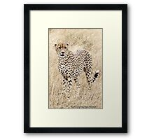 Cheetah looking on Framed Print