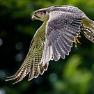 A wise falcon hides his talons by Paul Richards