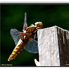 Dragonfly in the back-yard by hanslittel