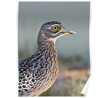 Thick-knee....... Poster