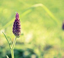 Lavender by Paul-M-W