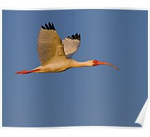 Sunset Ibis Poster