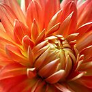 Orange Dahlia by karina5