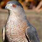 Coppers Hawk  by Dennis Cheeseman