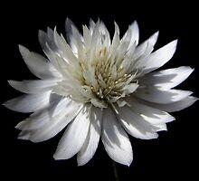 Xeranthemum annuum, white eternal flower by flips99