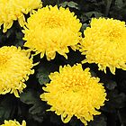 Yellow Chysanthemum's by Forfarlass
